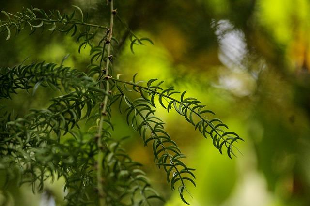 větvičky shatawari
